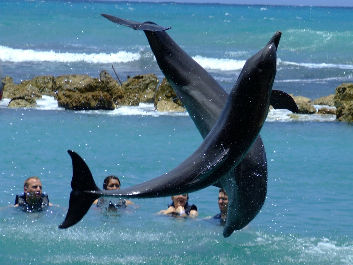 Families enjoy an intimate experience with the dolphins at Dolphins Cove (Ocho Rios Jamaica) which is the  top thing to do with kids in Jamaica.