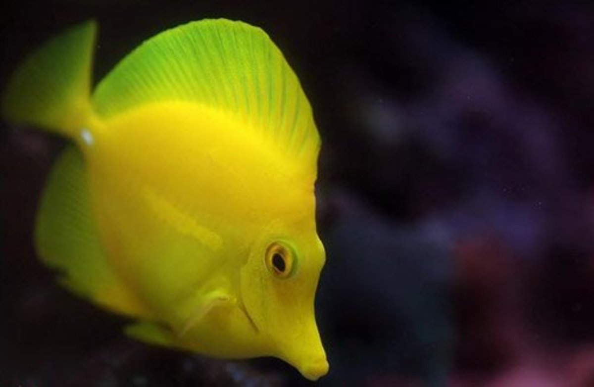 An adult yellow tang.