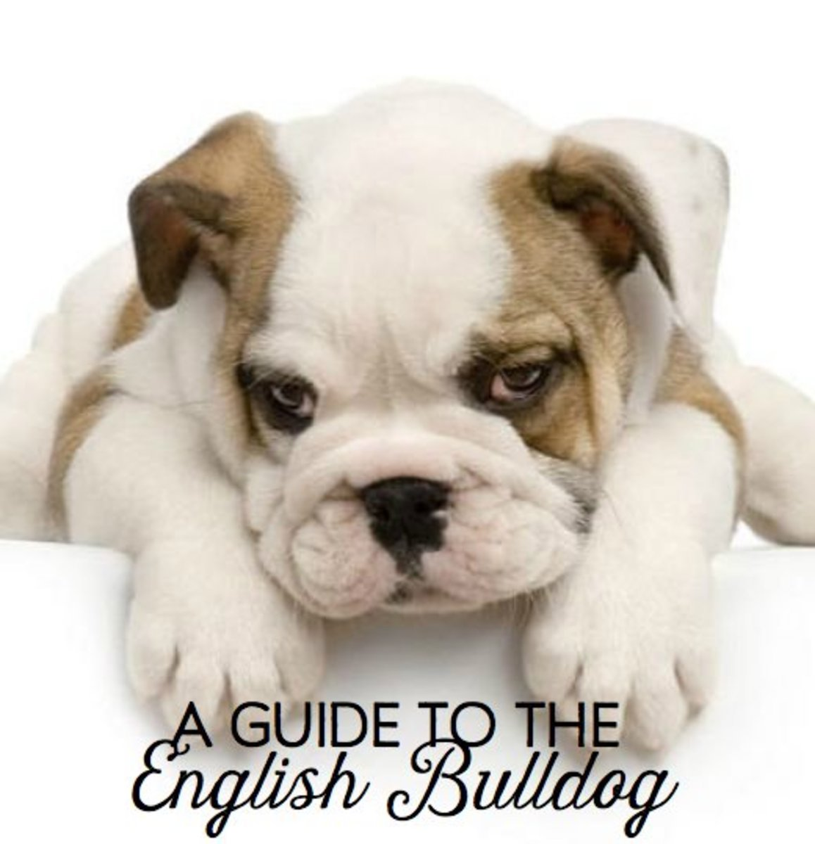 Your Guide to English Bulldog Puppies