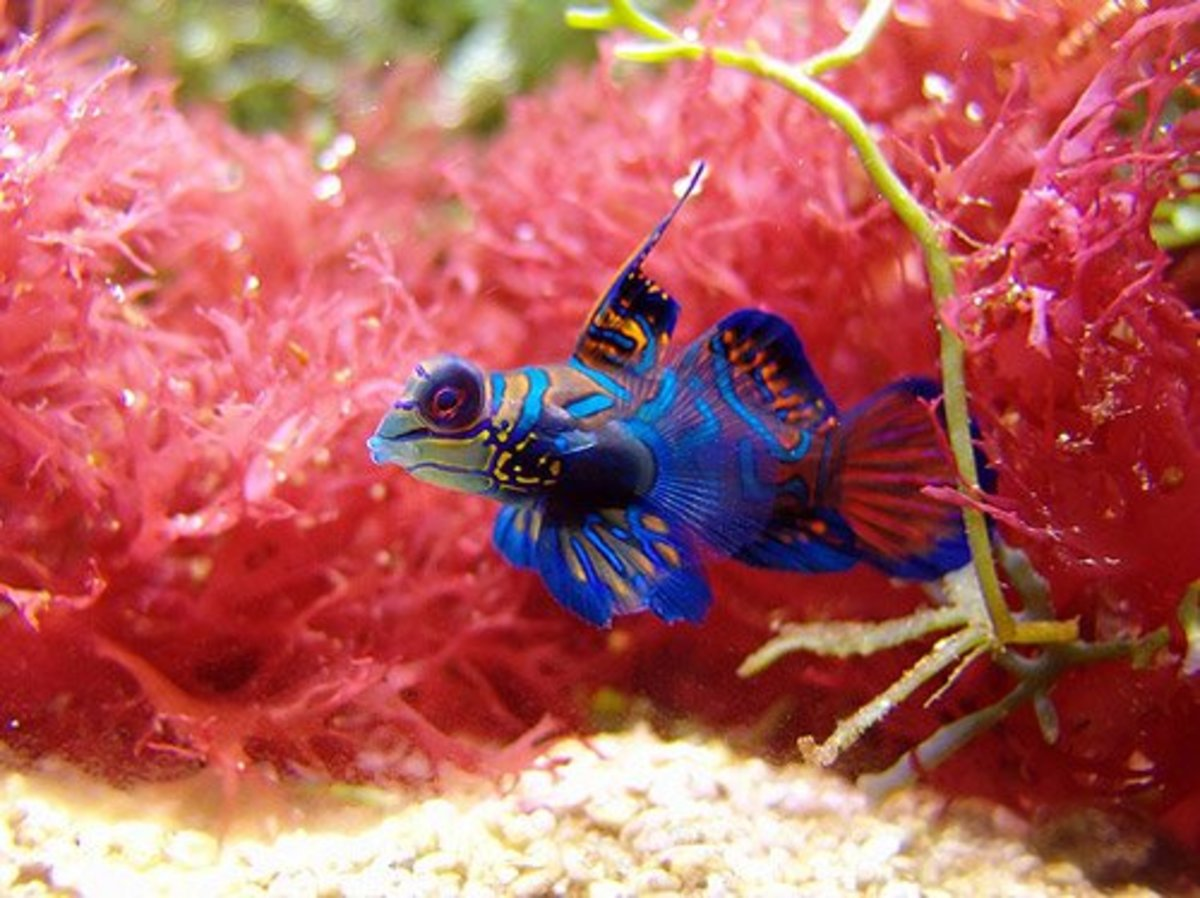 The mandarin fish is the most beautiful member of the genus Synchiropus. It is also one of the most breath-taking marine fish ever found in our oceans.