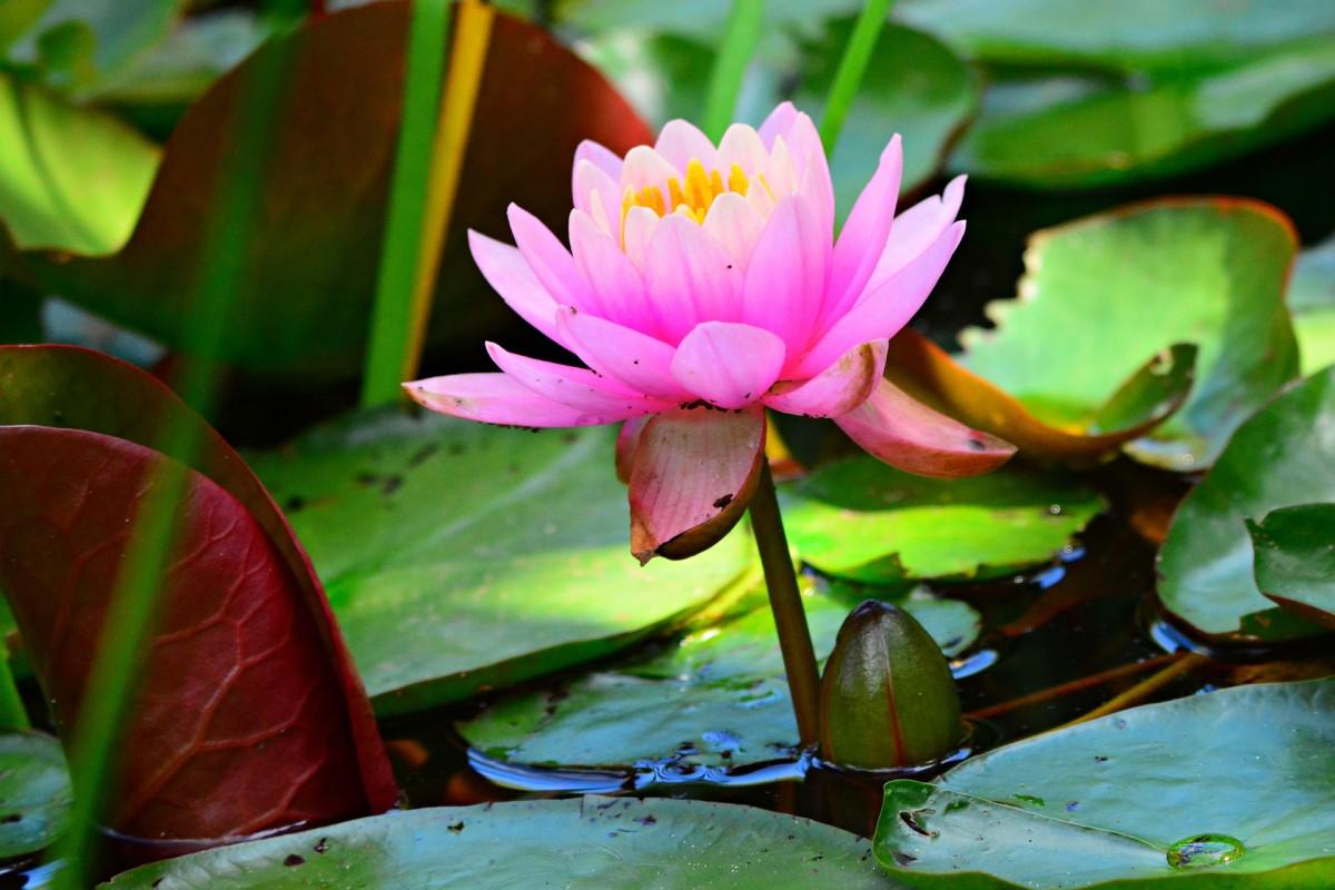 Hydrophytes Indoor And Outdoor Water Garden Plants Dengarden