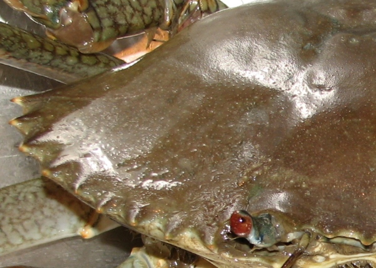 Let's Go Crabbing: How to Catch Mud Crabs   SkyAboveUs