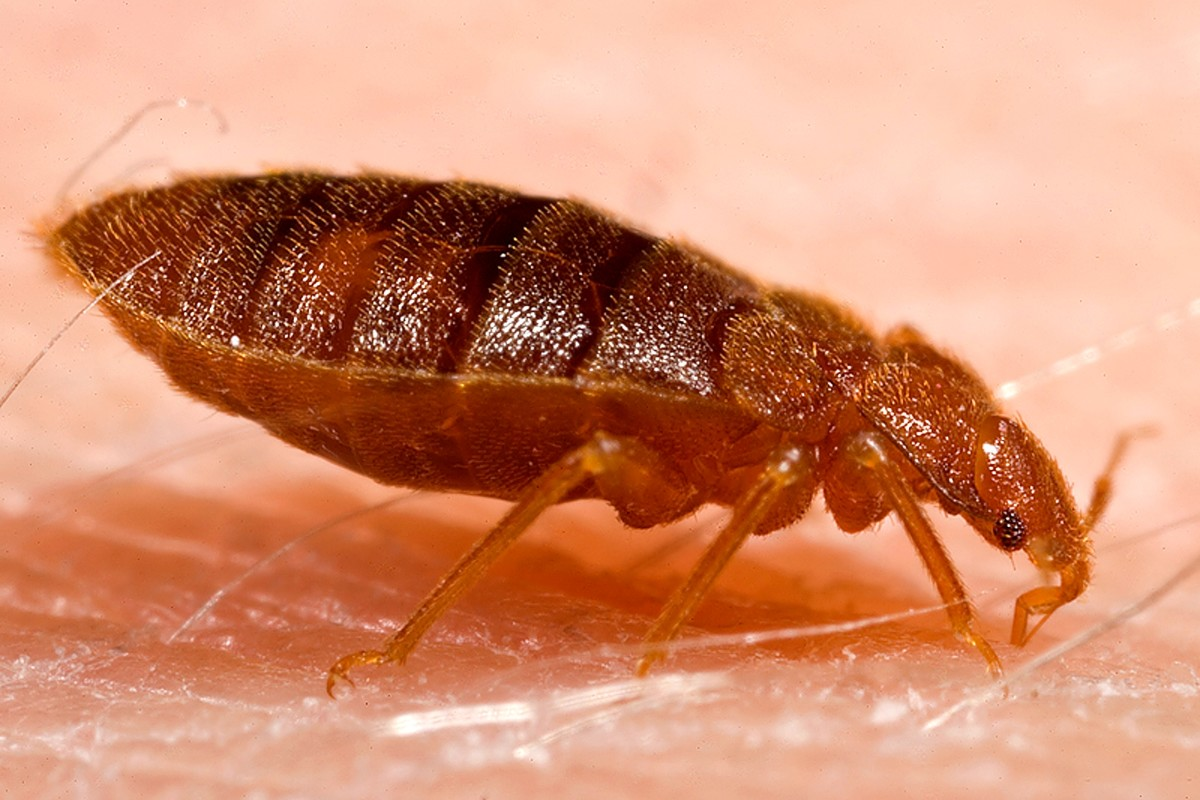 An adult Cimex Lectularius also known as a bed bug.