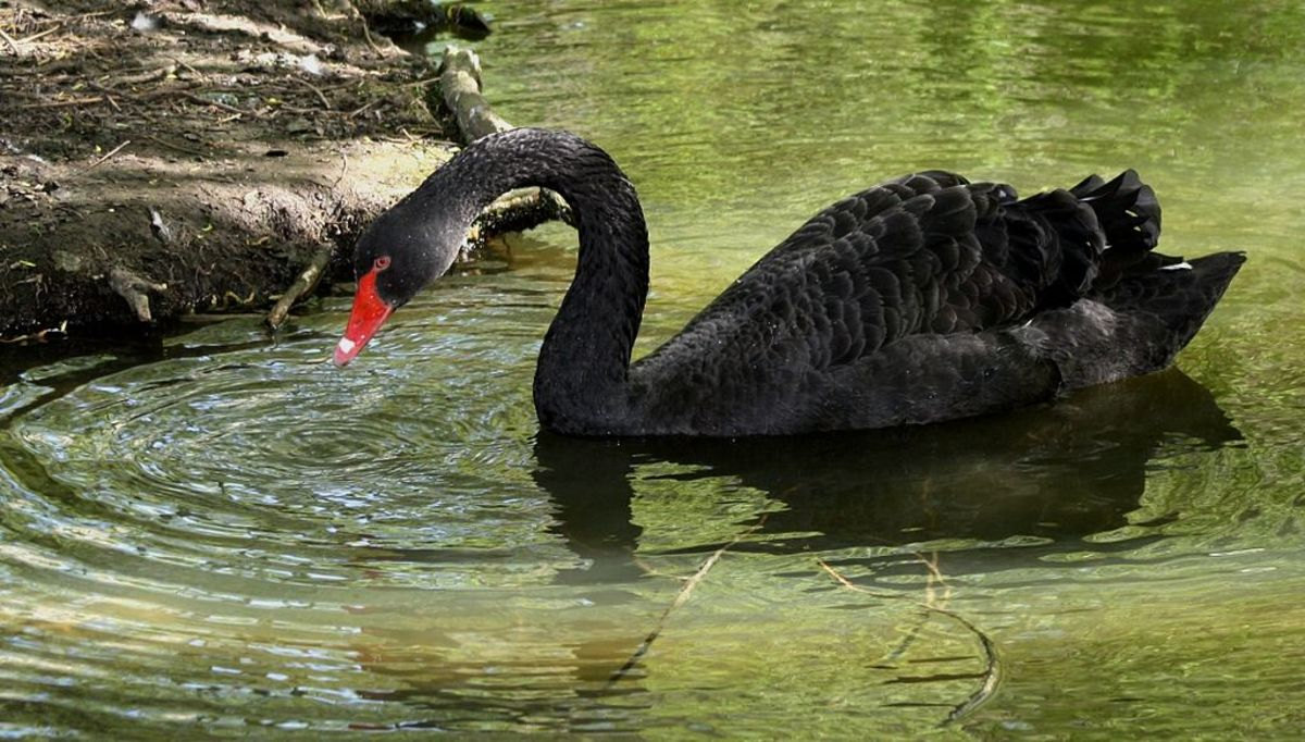 Facts of the Black Swan