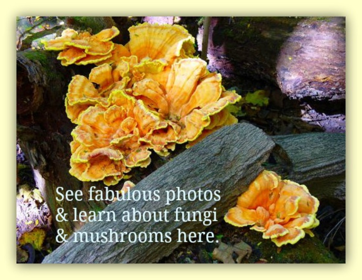Pictures of Wild Mushrooms and Fungus