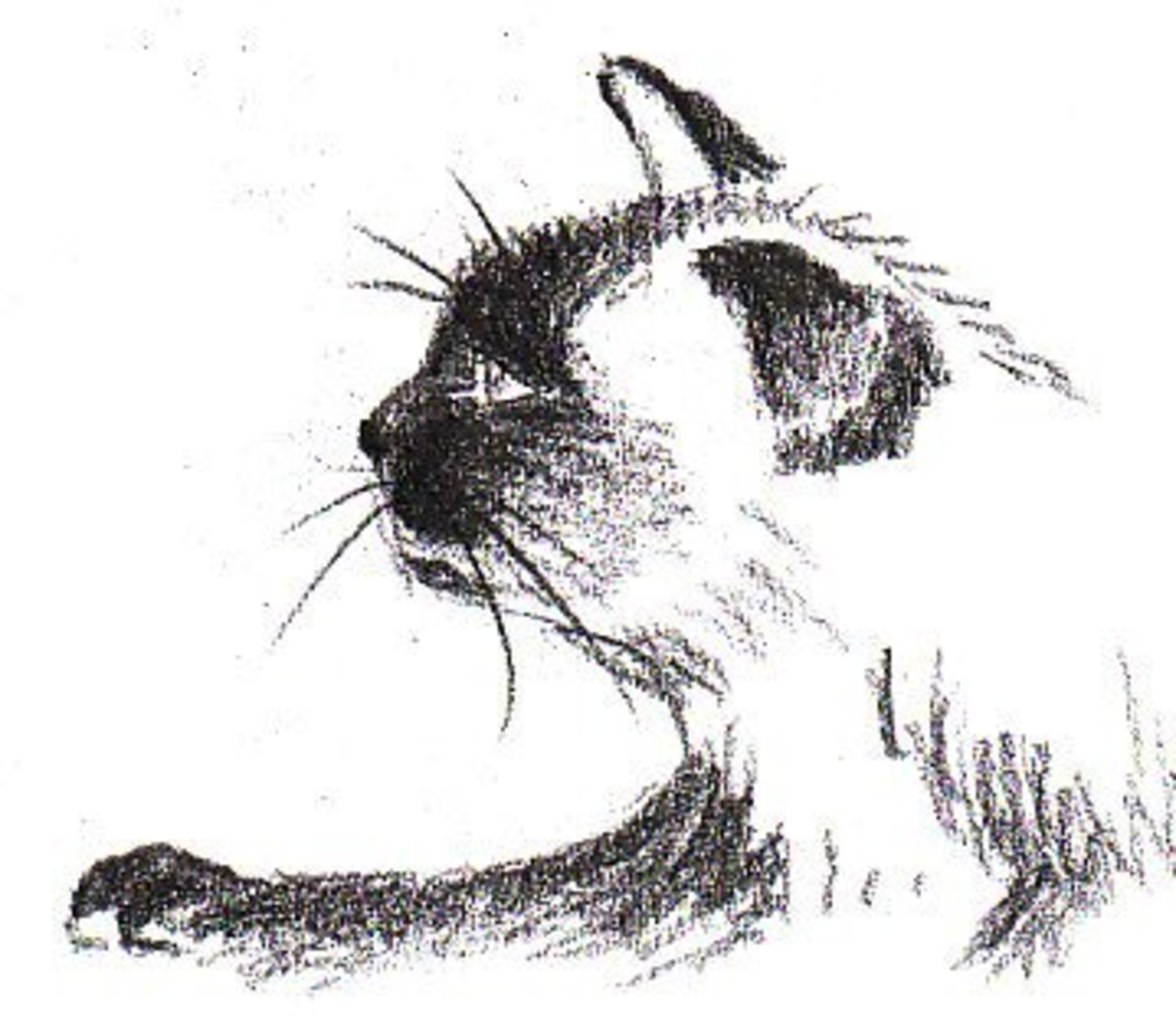 How to Draw a Siamese Cat Profile