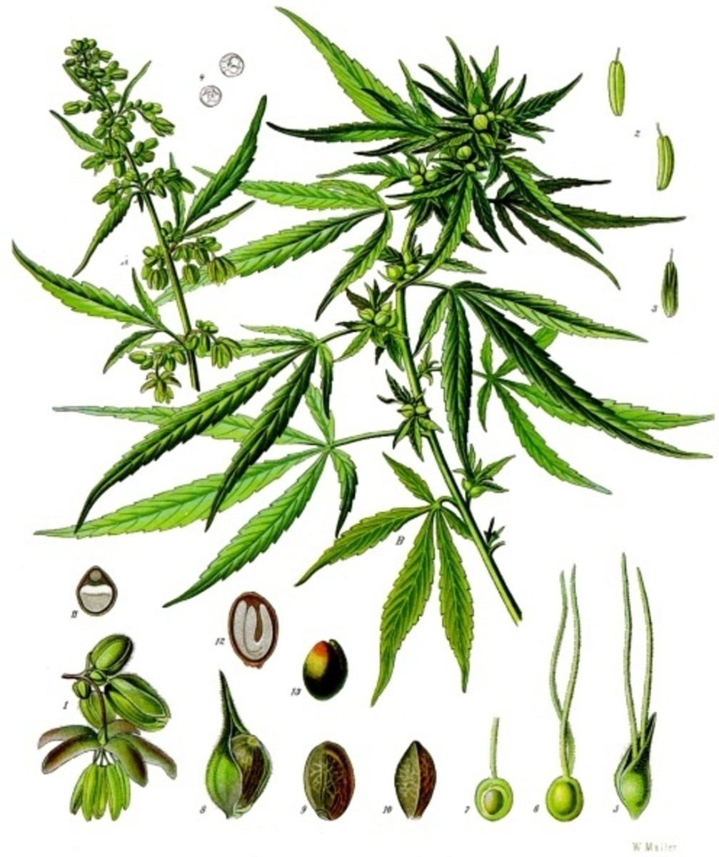 Cannabis flower botanical drawing, from 1887.