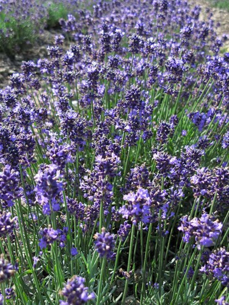 Lavender Aromatherapy: Benefits and Contraindications