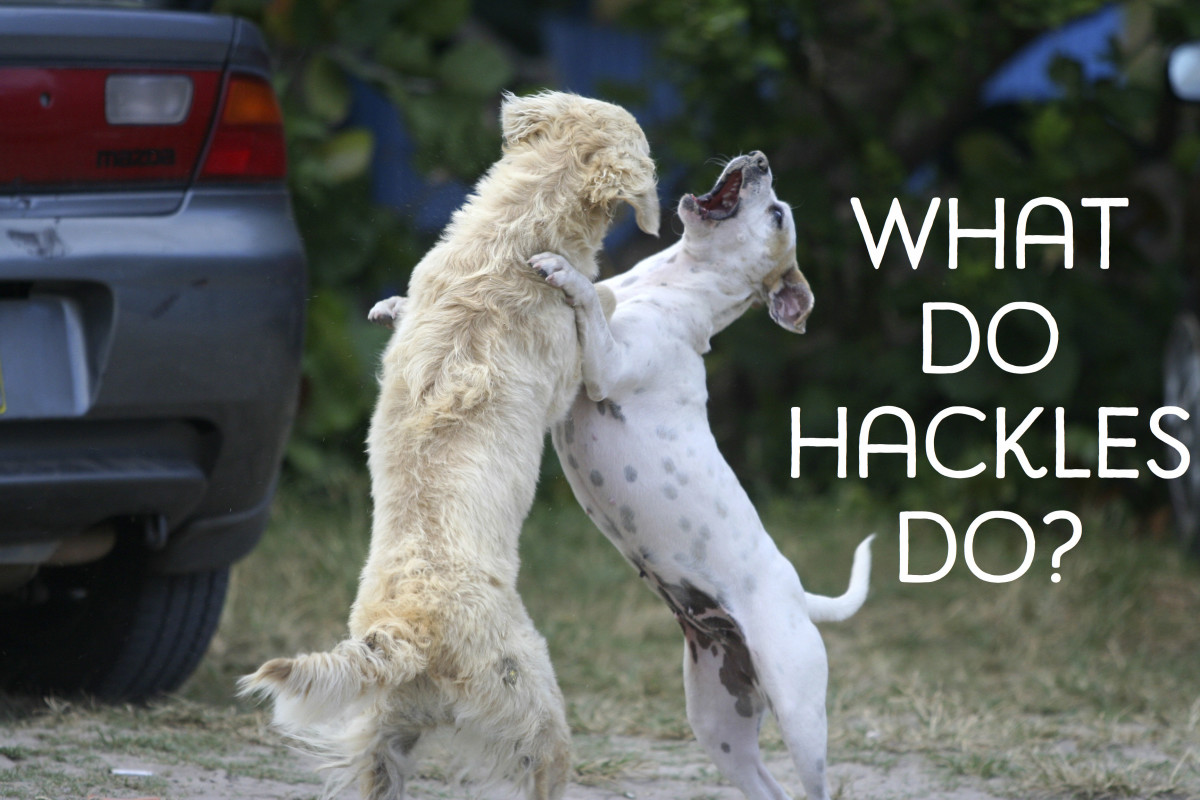 Raised hackles doesn't always mean aggression in dogs.