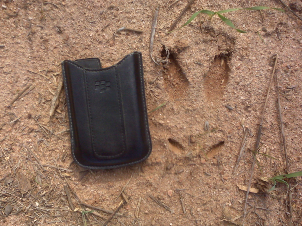 Deer tracks can tell you a lot about the deer in a hunting area.