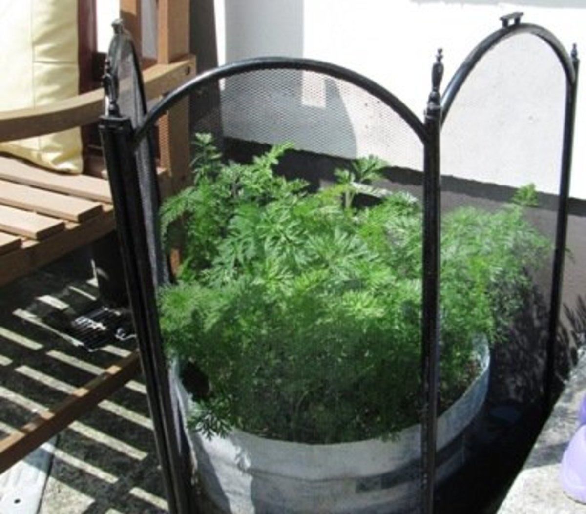 How to Grow Carrots in Containers and Bags in the Garden