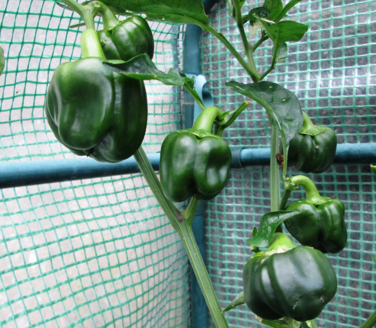 Growing planting and harvesting sweet bell peppers dengarden - Growing vegetables in a small space concept ...