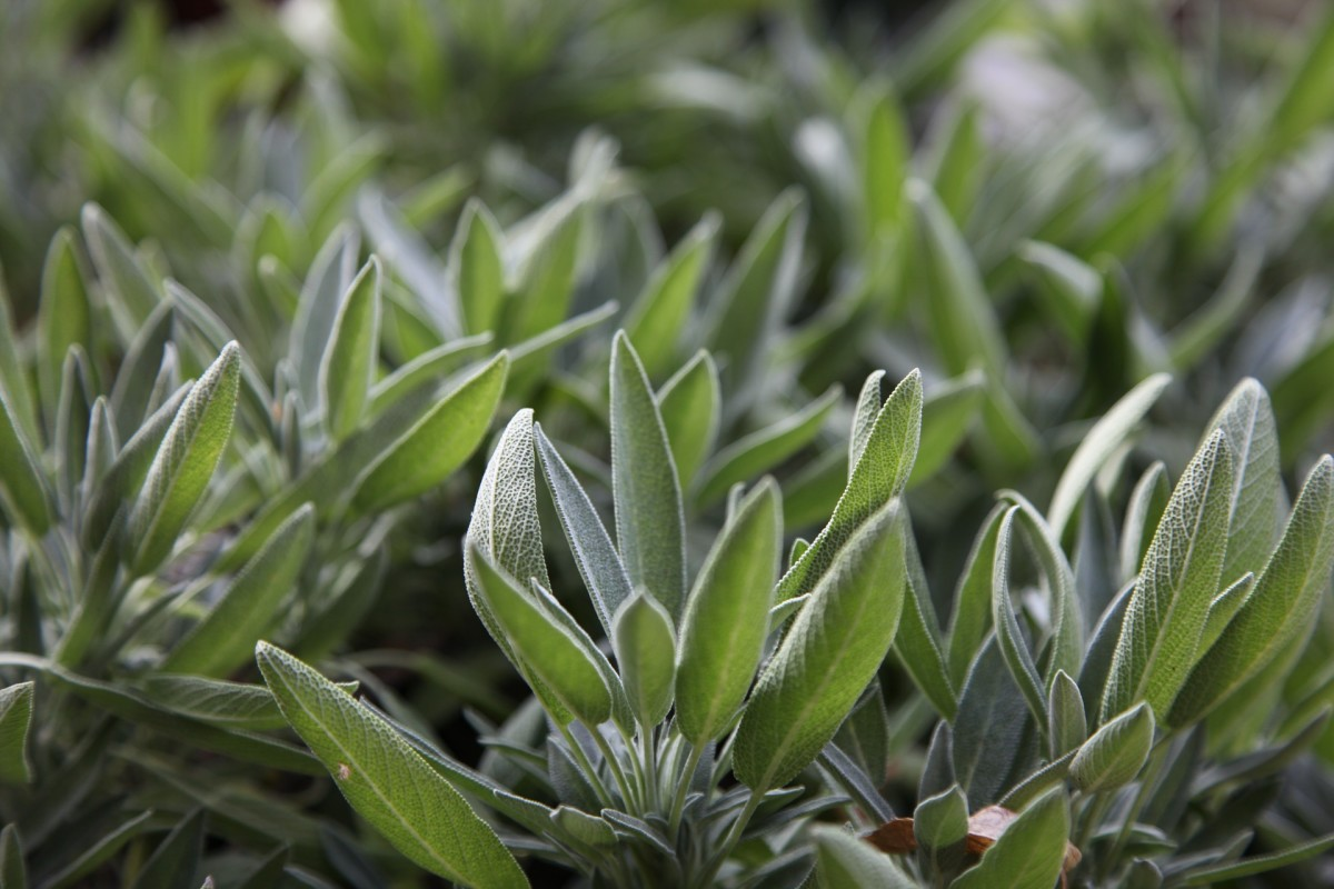 The history and beauty of sage extends beyond the Thanksgiving table.