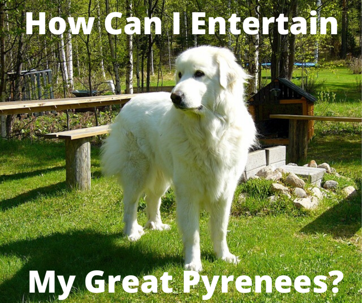 How to Entertain a Great Pyrenees: Activities for This Breed
