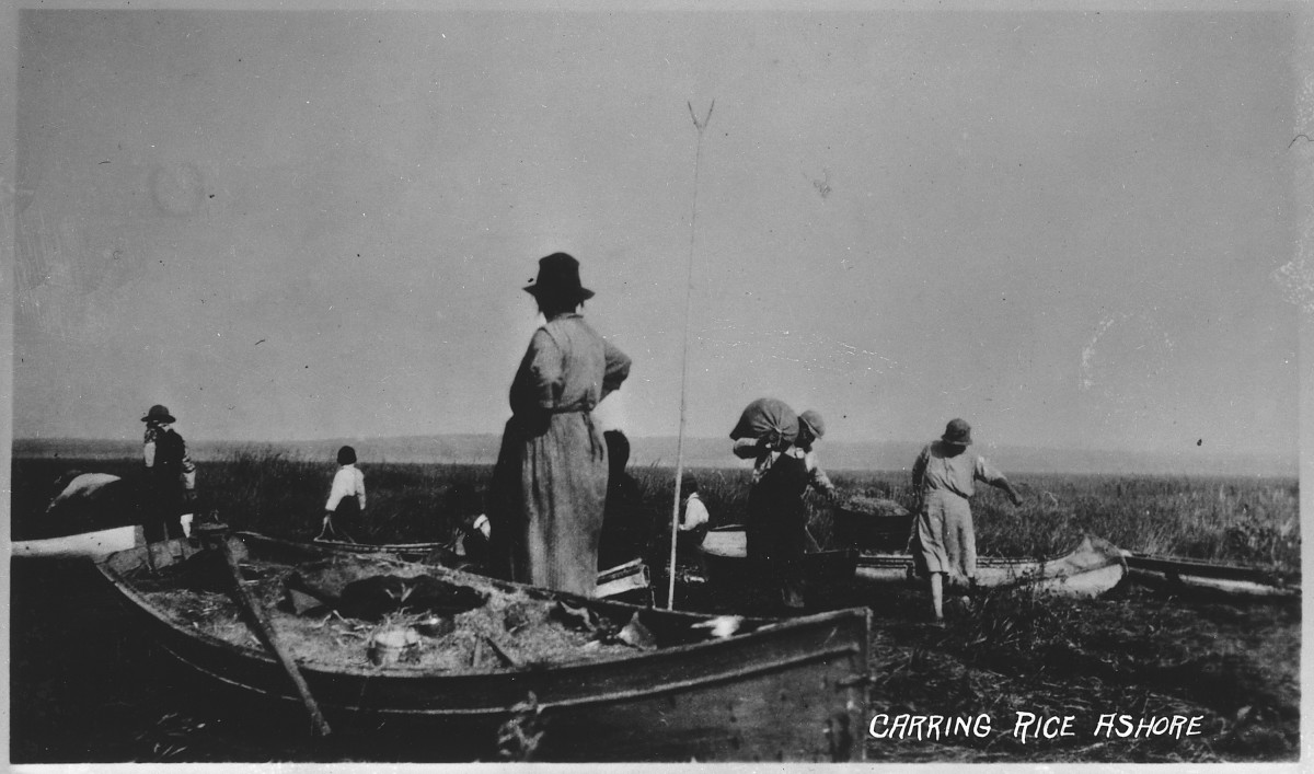 A Native North American family of long ago collects wild rice from their boat in 1915.