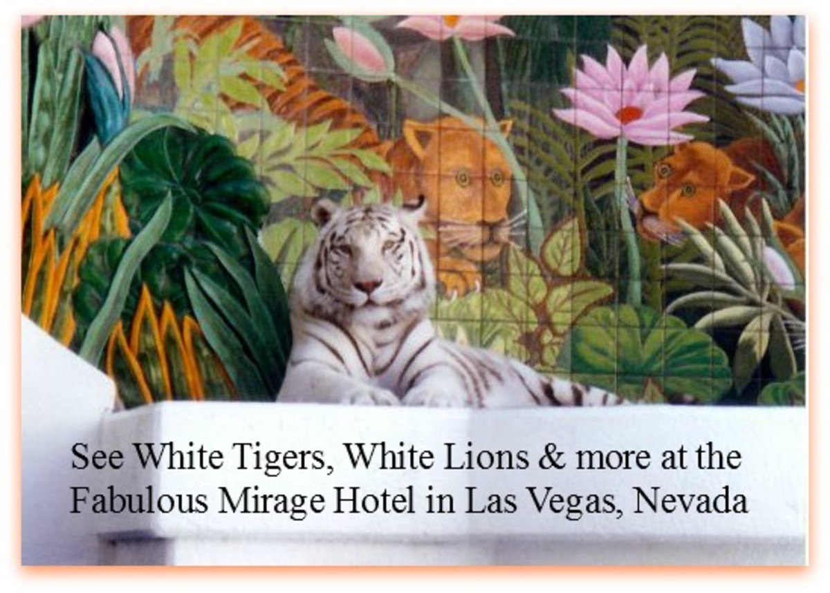 White Striped Tiger on display at the Mirage.  Who is watching whom?