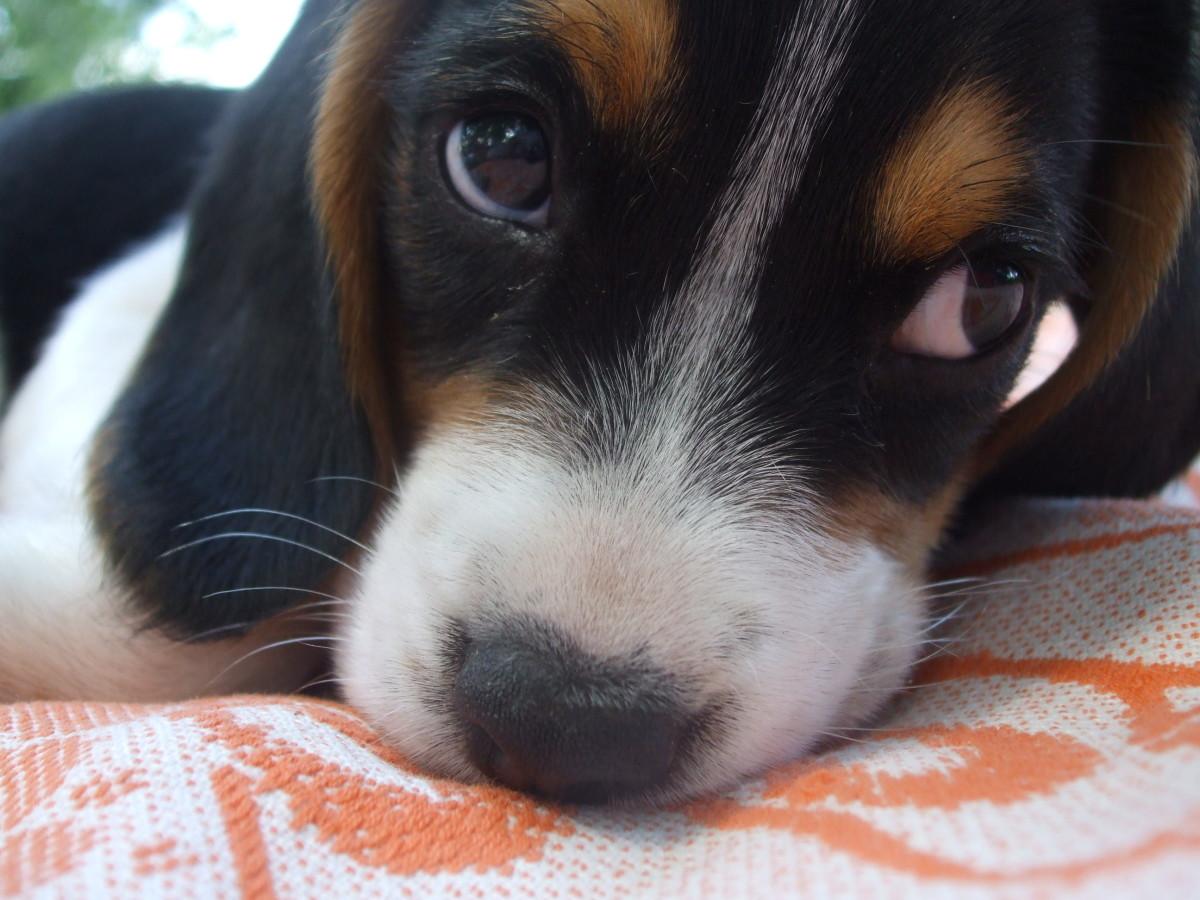 Self Help Dog Training Cherry Eye