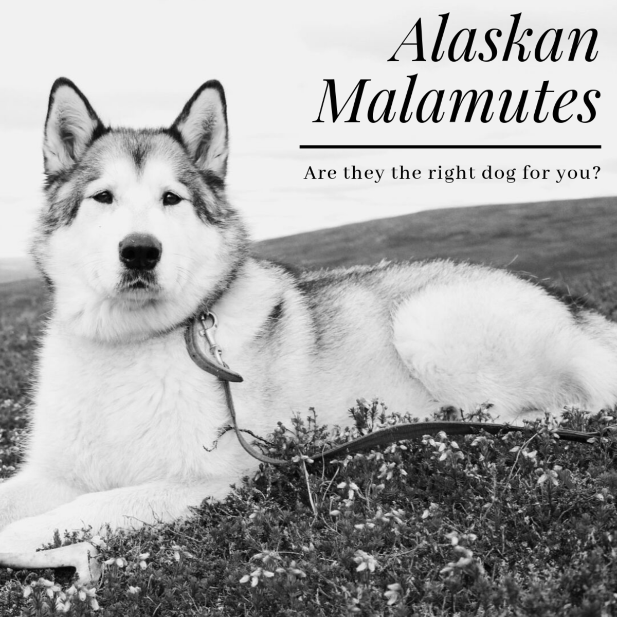 Is an Alaskan Malamute Dog Right for You?