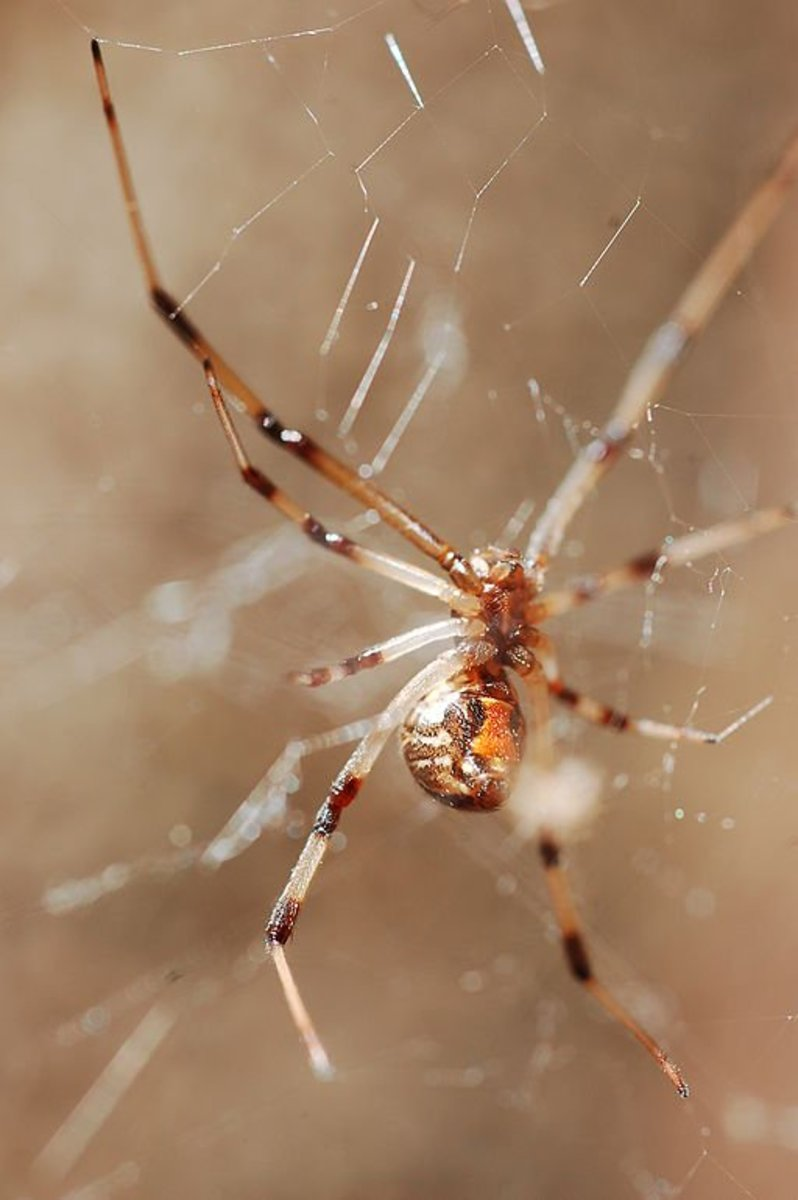 What you need to know about the brown widow spider dengarden for What does a garden spider look like