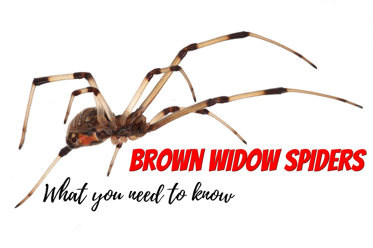 Learn about the venomous brown widow spider