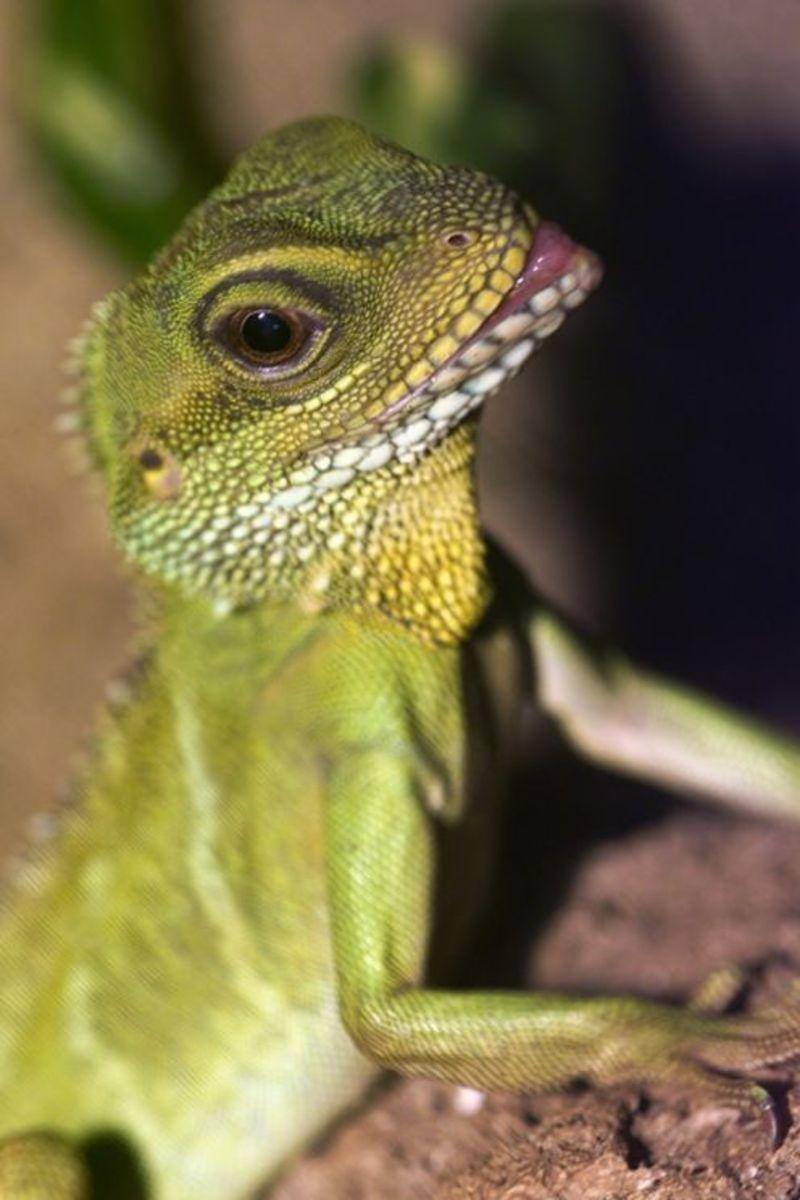 Lizards Make Great Low Maintenance Pets