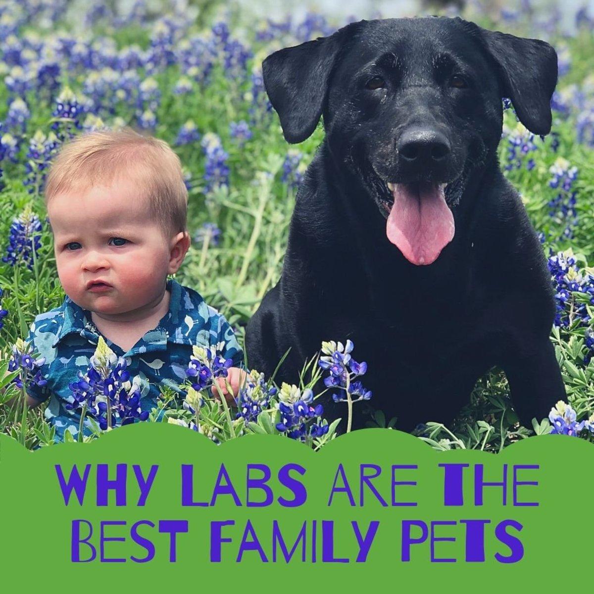 10 Reasons Labrador Retrievers Make Great Family Pets