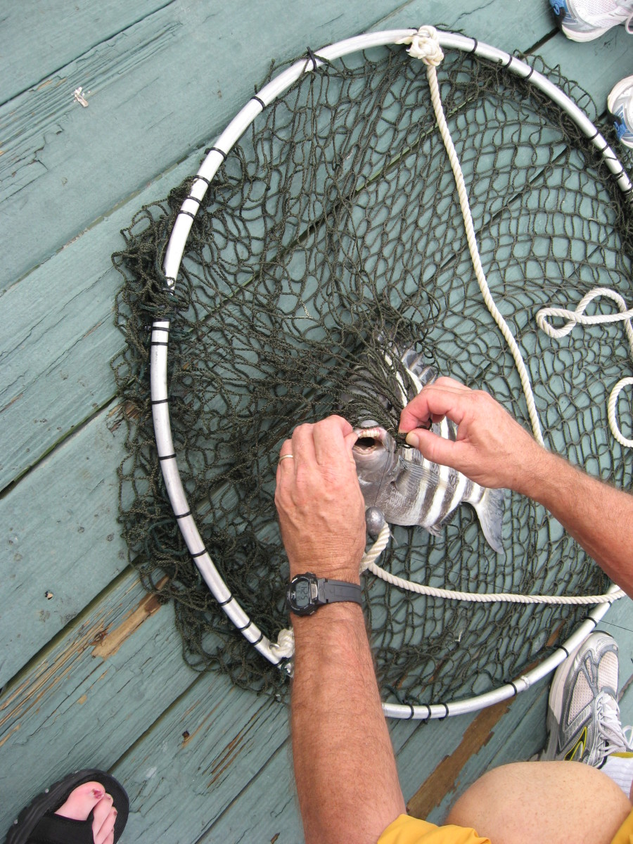 Saltwater Fishing: How to Catch Sheepshead, with Video