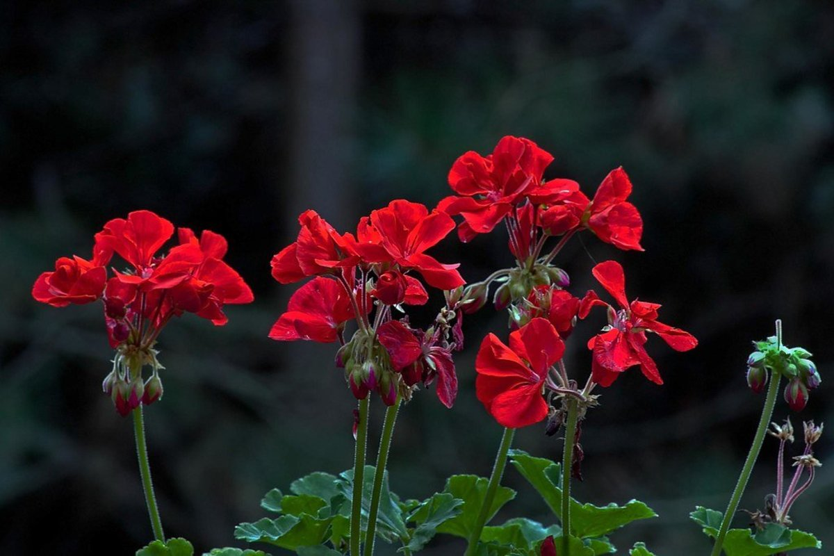 Your guide to growing geraniums