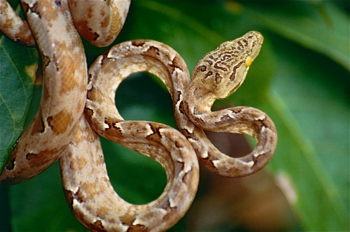 Amazon Tree Boas have slender bodies and large heads.