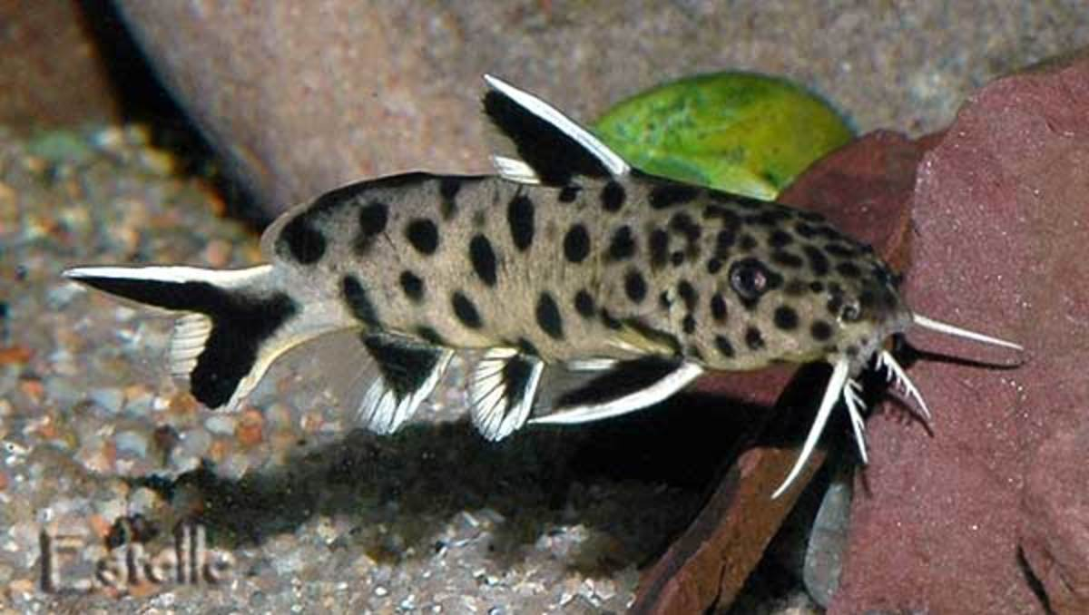 Synodontis catfish are bottom feeders with a striking appearance.