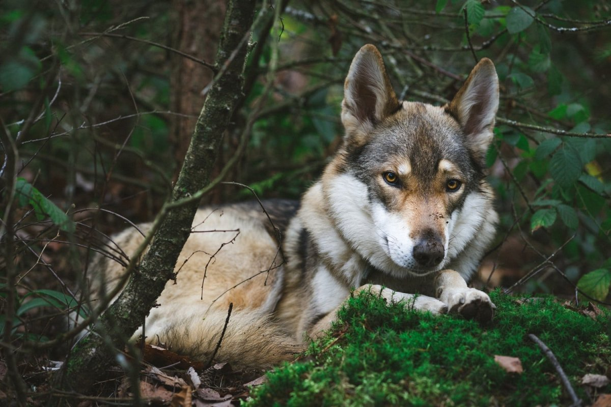 Wolf Hybrid And A Dog