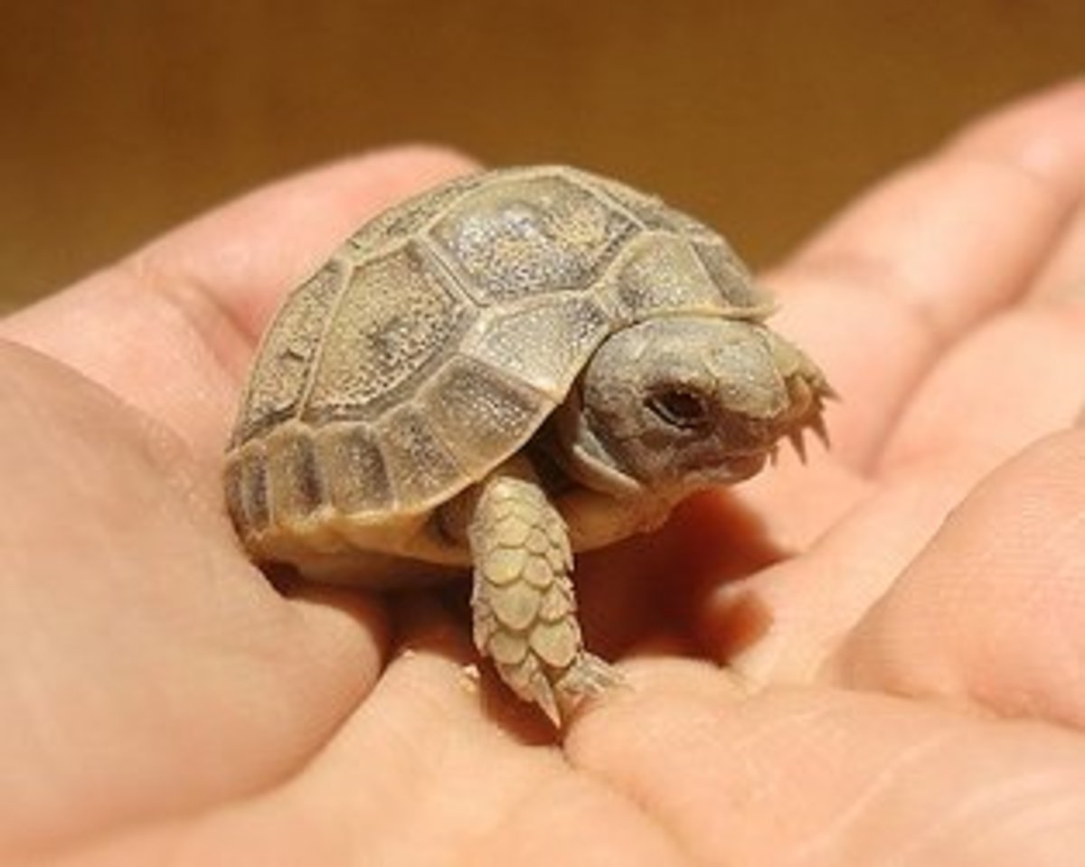 Russian Tortoise Full Grown Size