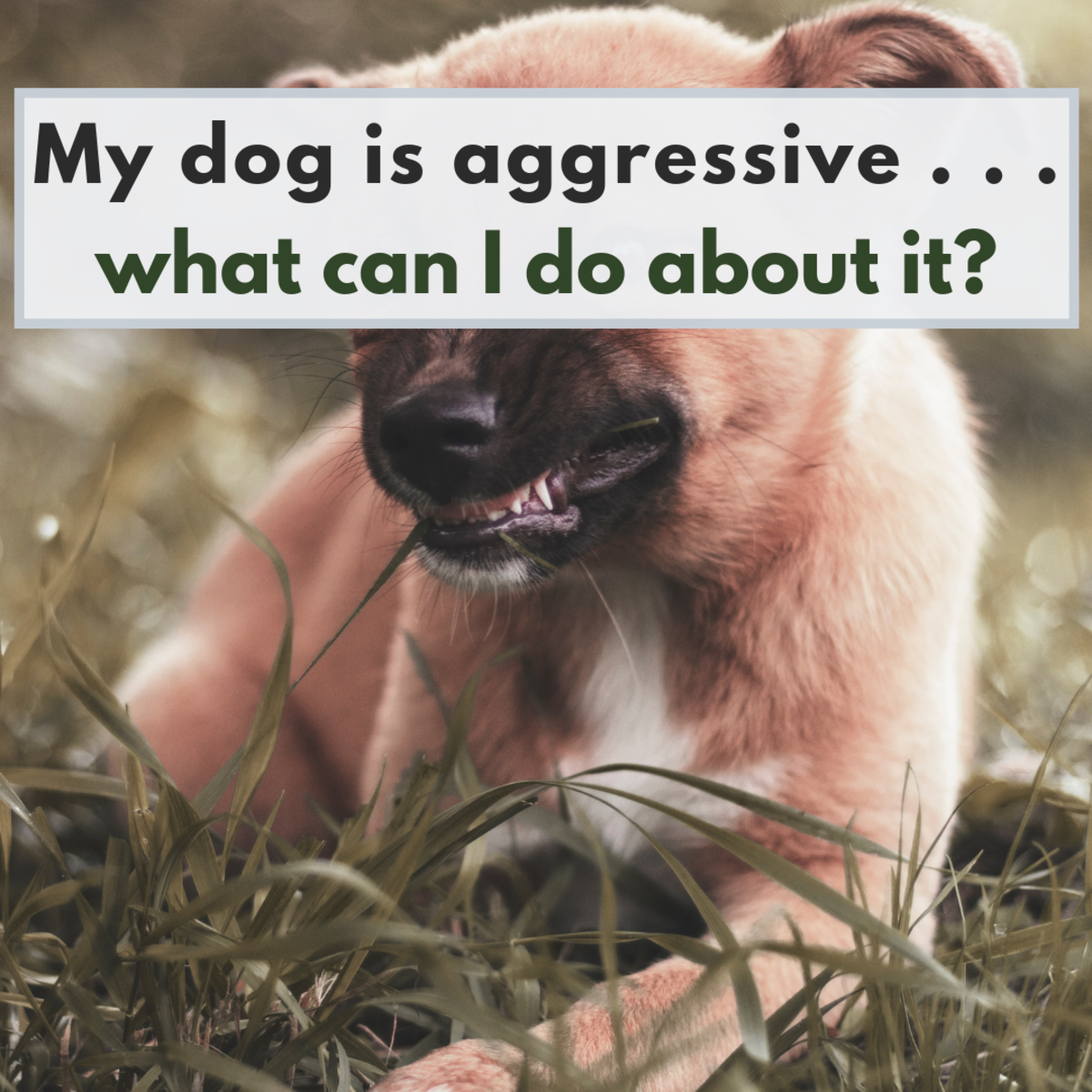 Territorial dogs can be a big liability. Find out how to curb territorial aggression.