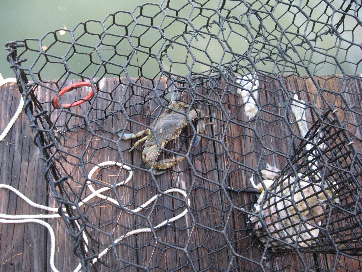 We like catching our own blue crabs.