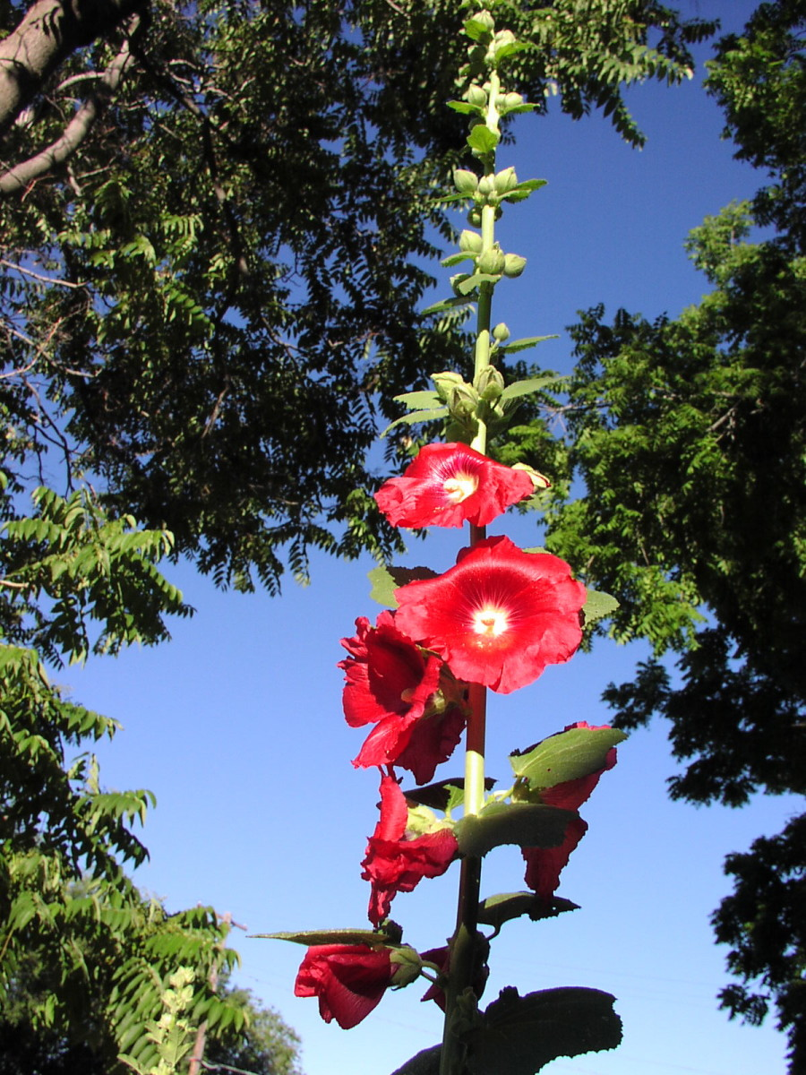 A big, red hollyhock thrives in Atlanta. The mild winters of the city provide an optimal climate for this hardy plant with beautiful blooms.
