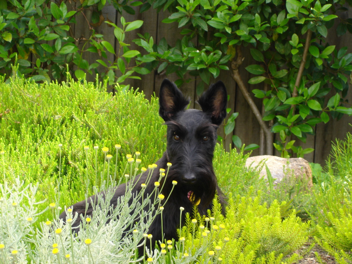 Scottish Terriers  -  Understand and Love the Breed