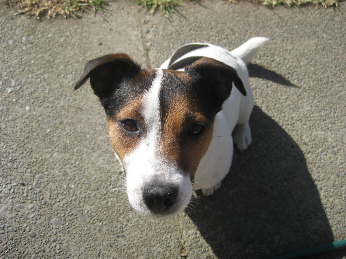 Common Jack Russell Problem Behaviors and What To Do About Them