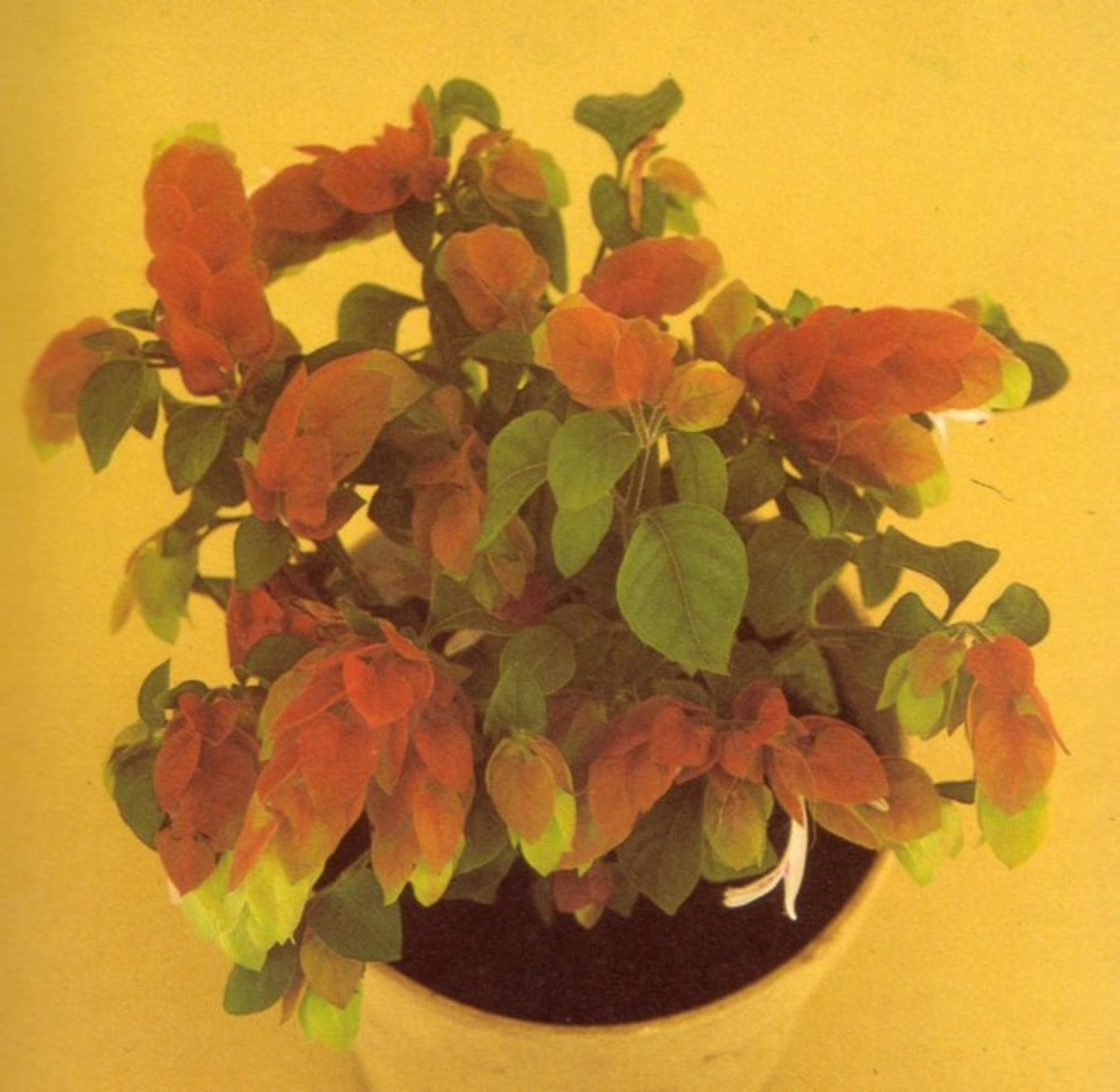 A well-grown, compact shrimp plant of Beloperone guttata, which may also be marketed as Drejerella guttata or Justicia brandegeana.
