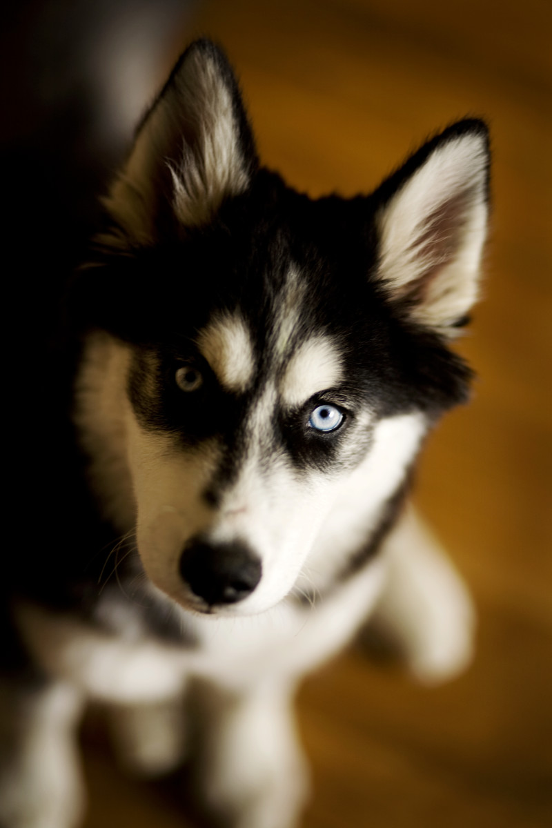 Young black-and-white Siberian.