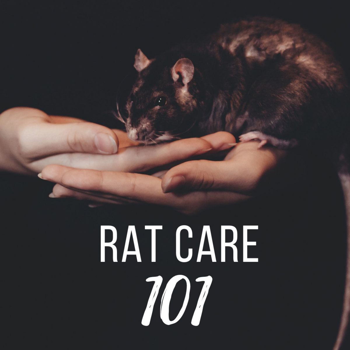 Everything you need to know about pet rats.