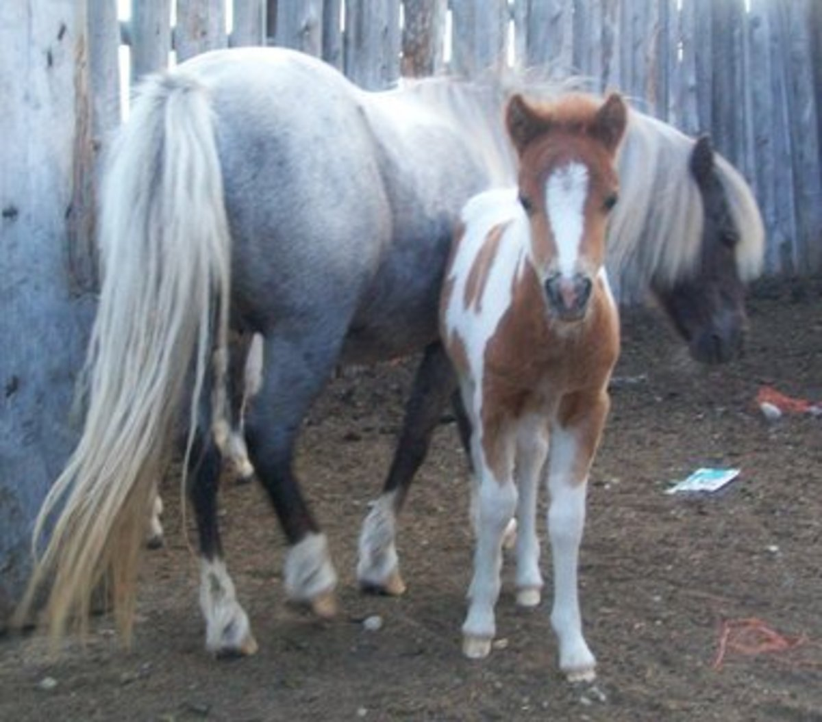 Breeding Miniature Horses