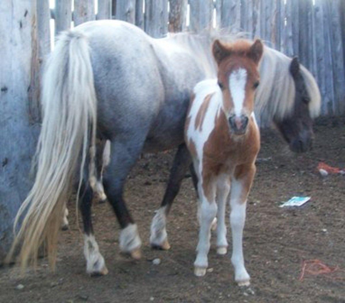Guide to Breeding Miniature Horses