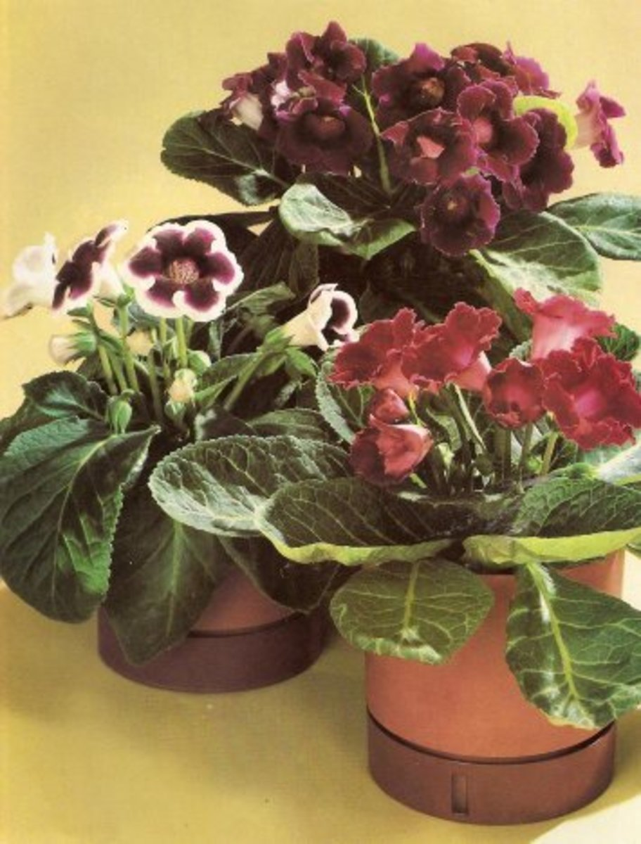 Gloxinias, or florist Gloxinias (Sinningia speciosa), are the most glorious summer and autumn flowering house plants.