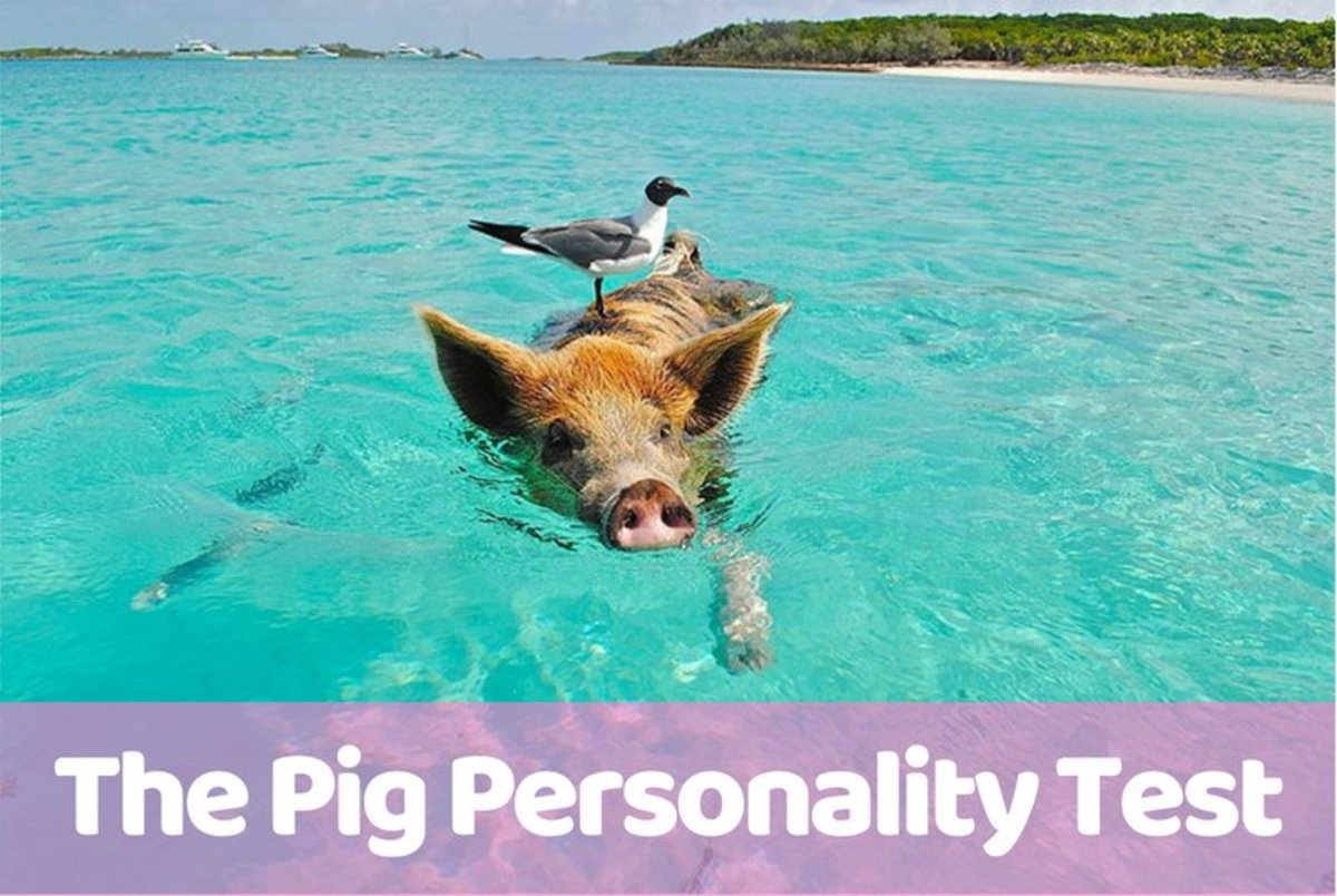 Take the Pig Personality Test | Owlcation