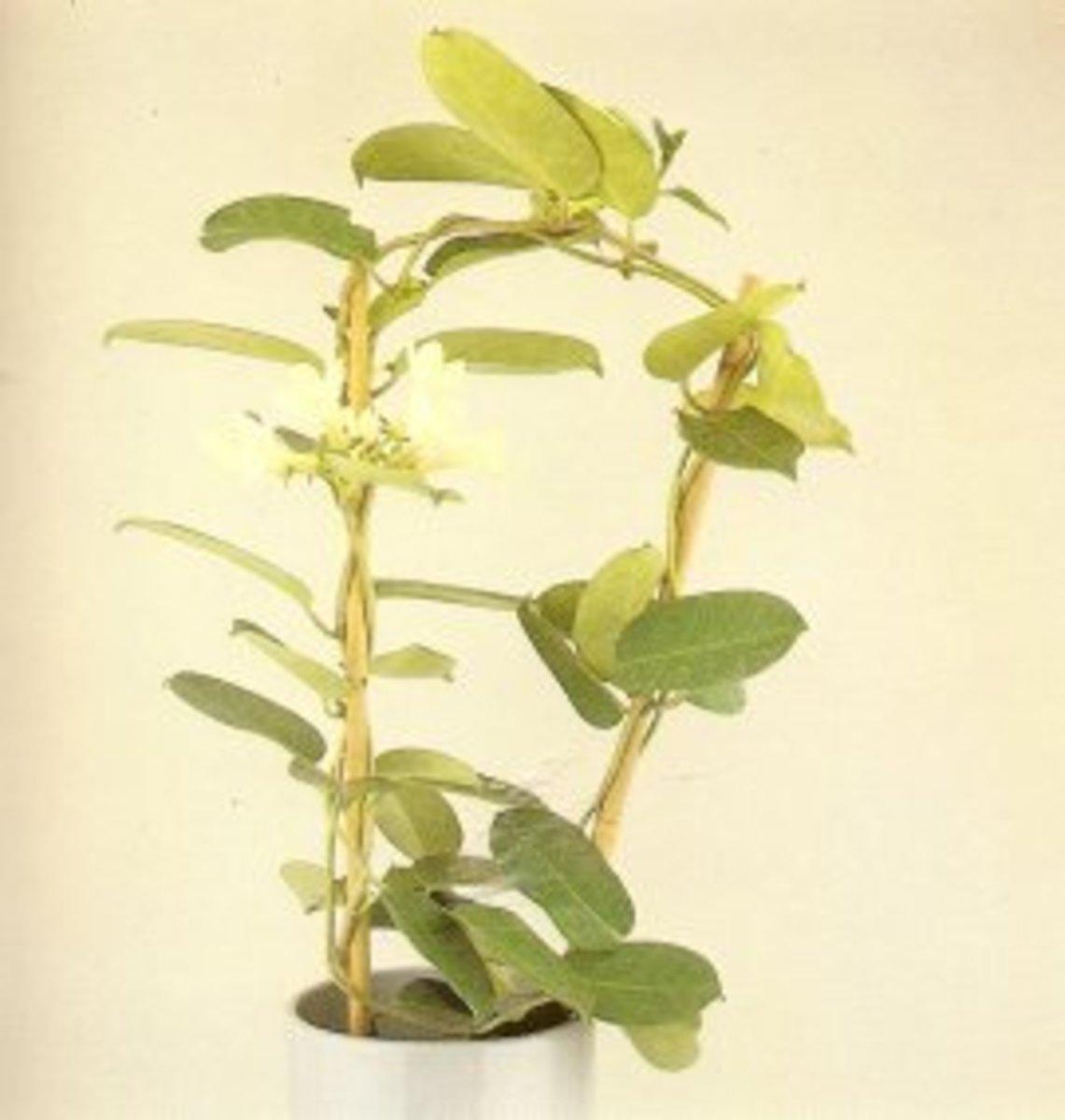 Madagascar Jasmine in a pot.