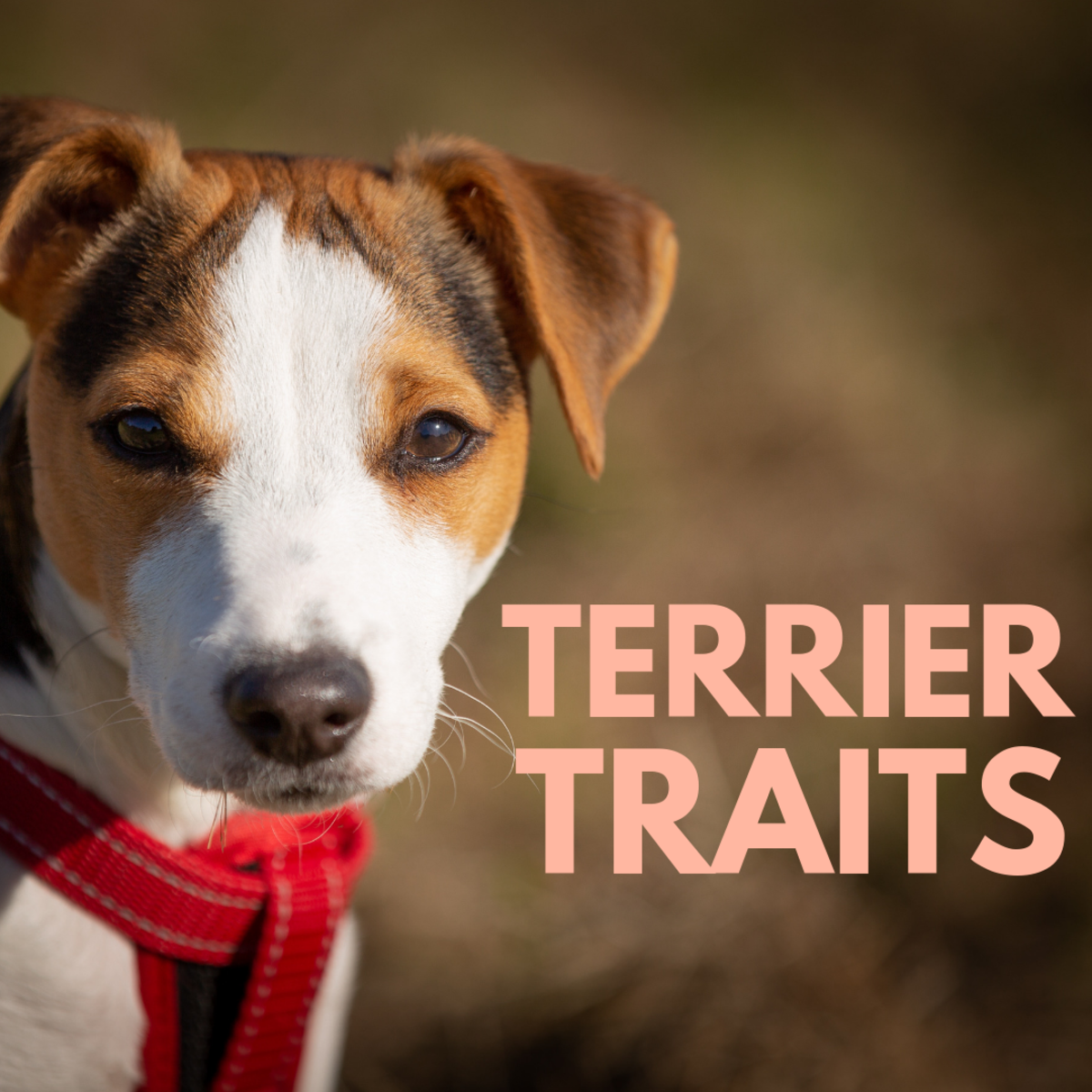 Traits of Different Types of Terriers