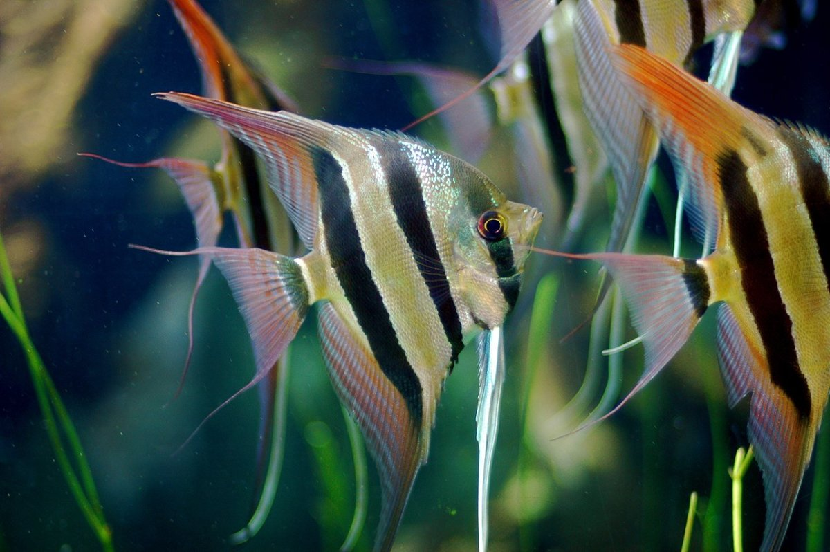 Freshwater angelfish are easy to care for if you have all the facts.