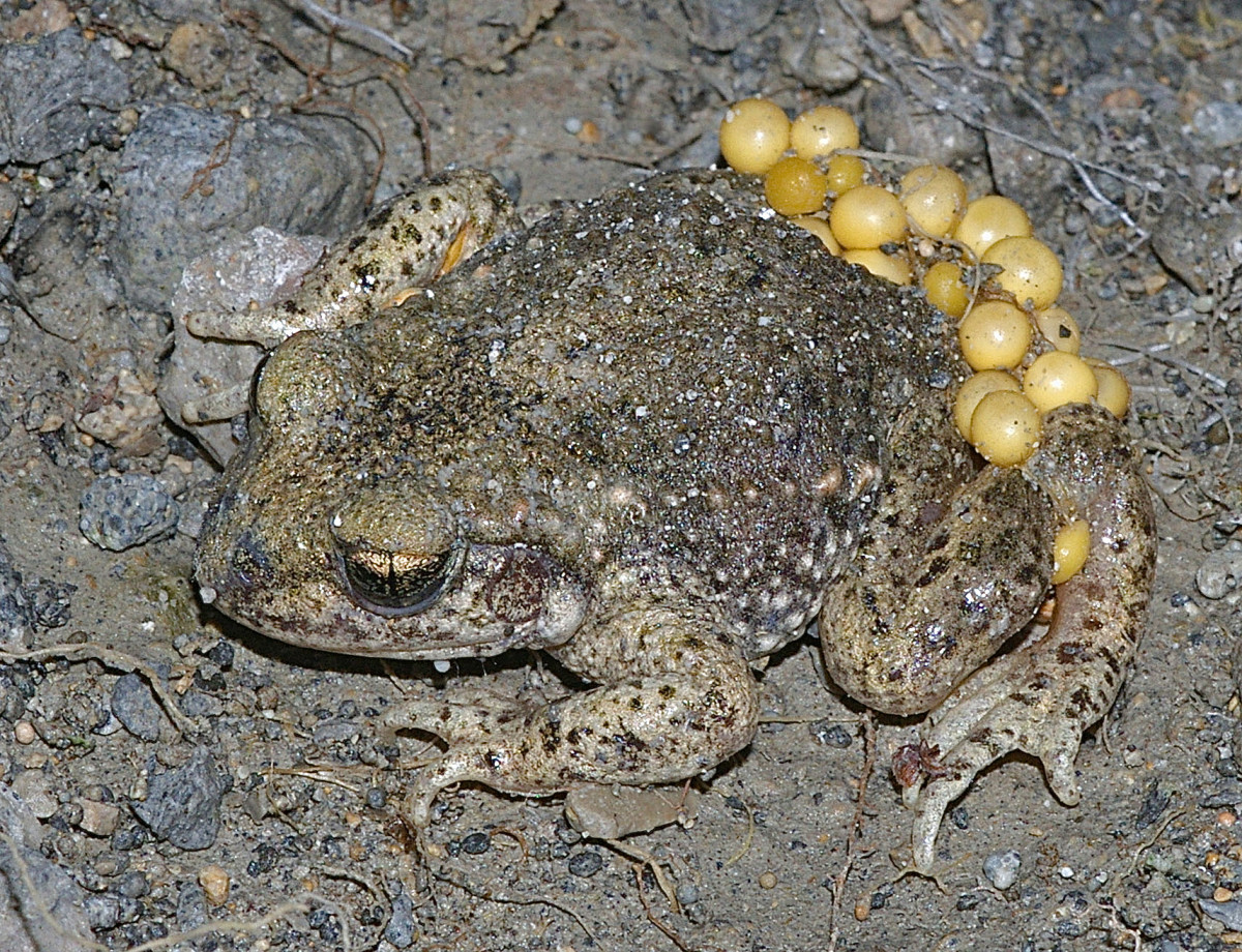 A male common midwife toad (Alytes obstetricans) carrying eggs