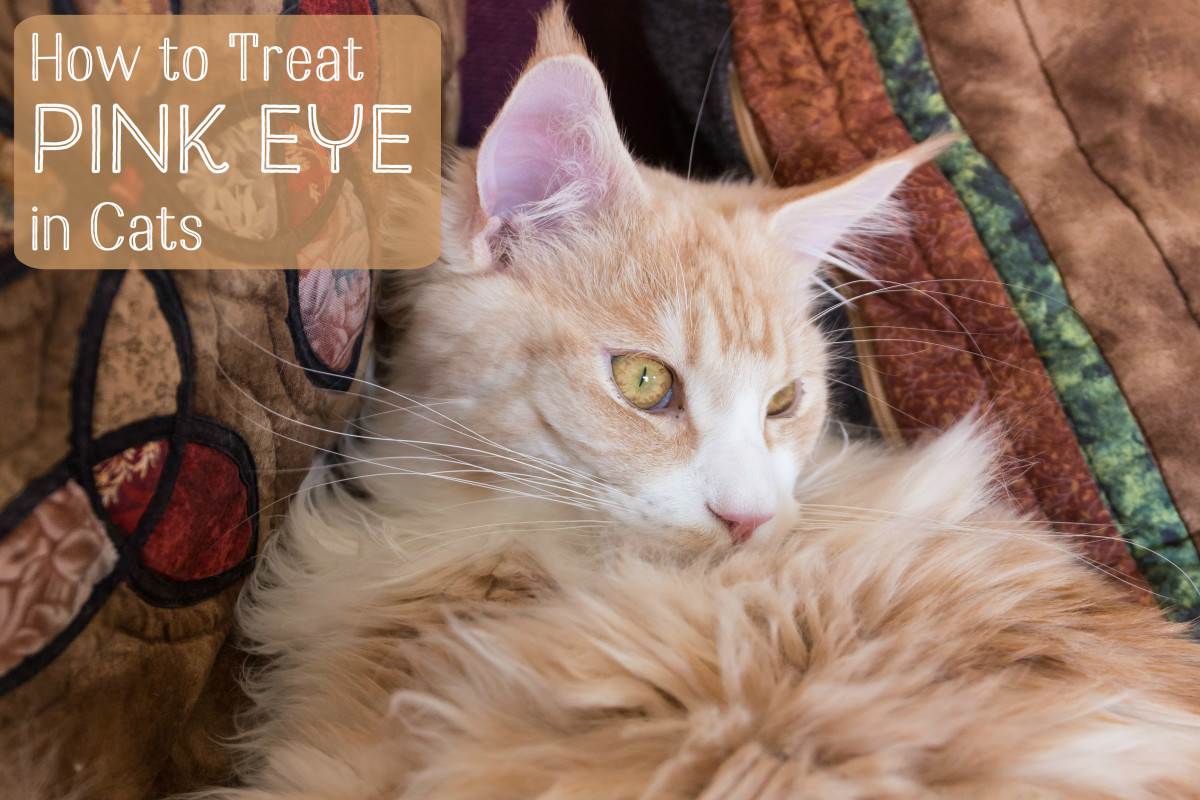 Treating Conjunctivitis in Cats