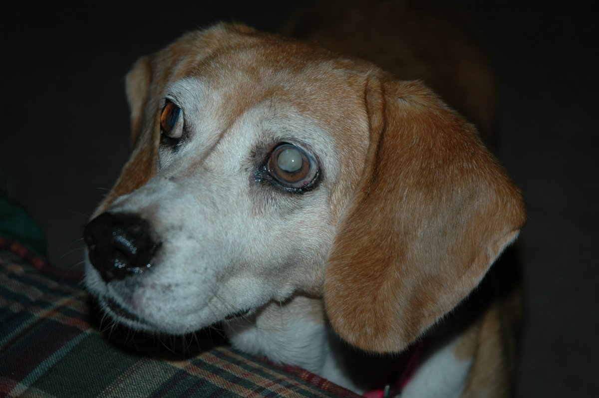 Glaucoma and Cataracts in Dogs: Know What to Look for When It Comes to Canine Eye Problems!
